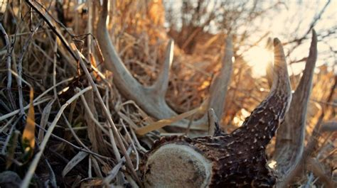 Do Whitetail Deer Shed Their Antlers by White Gold When Do Bucks Shed Antlers Bone Collector