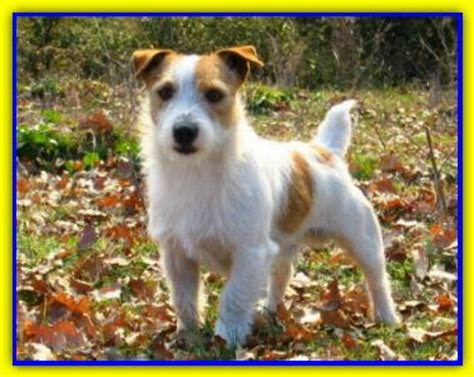 Does A Terrier Shed by Does Hair Chihuahua Shed Breeds Picture