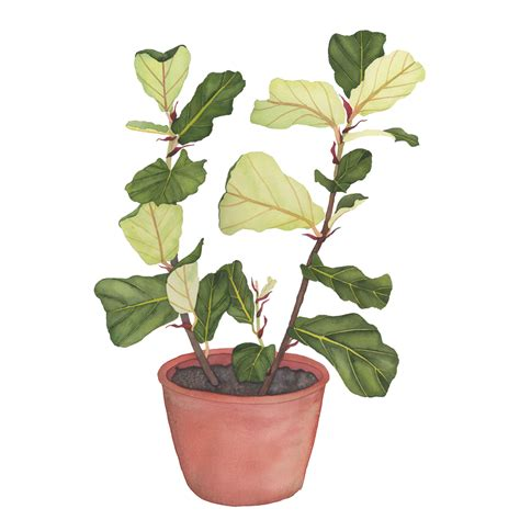 fiddle leaf fig my giant strawberry living with plants fiddle leaf fig