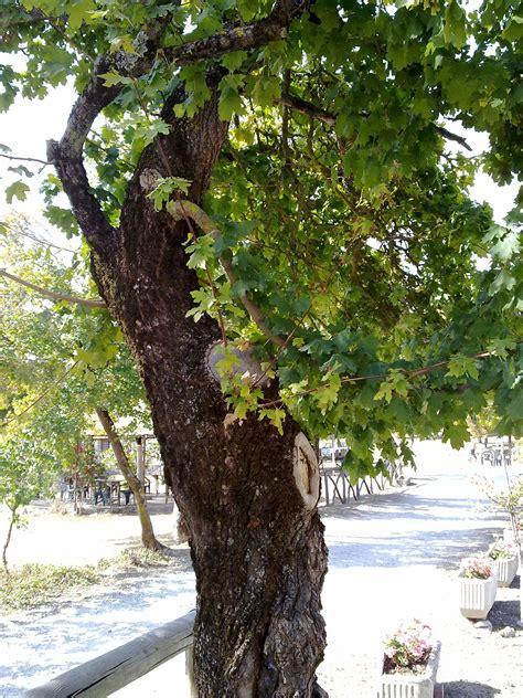 maple tree east acer cestre