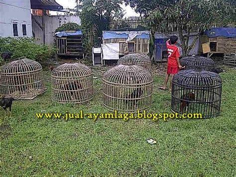 Bibit Ayam Petelur Di Bandung ternak sapi bandung ternak ayam petarung