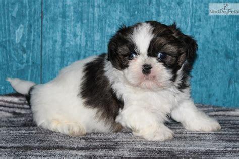 shih tzu puppies for sale in greensboro nc shih tzu puppy for sale near greensboro carolina 1cc546e7 89f1