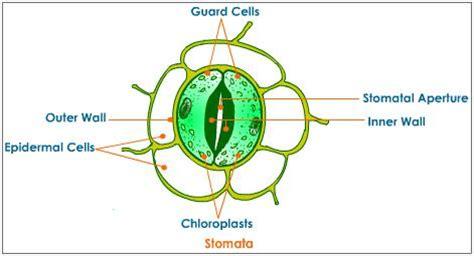 stomata diagram transpiration and stomata ap bio plants review