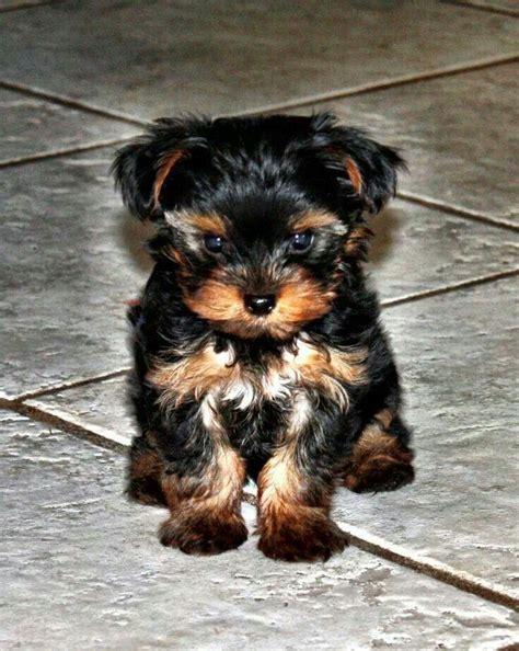 illinois yorkie breeders best 25 terrier puppies ideas on terriers