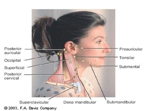 neck lymph node locations diagram neck lymph glands locations diagram glands diagram