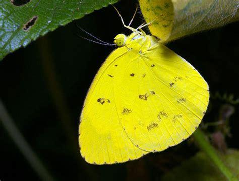 large grass yellow eurema hecabe