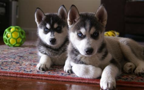 siberian husky puppy cutest siberian husky puppy pictures and wallpapers imgstocks