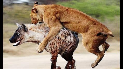 imagenes de animales salvajes salvajes ataques de animales salvajes youtube