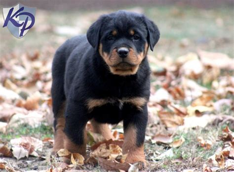 miniature rottweiler for sale miniature rottweilers sale about animals