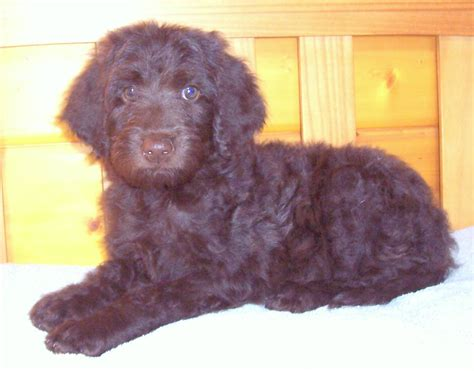 newfoundland poodle mix puppies newfypoo puppy 719 320 7146 best newfypoo puppies newfoundland poodle mix call