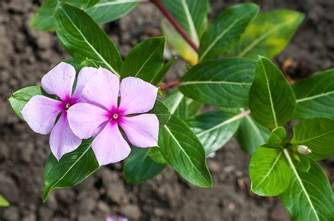 imágenes de flores venenosas las cuatro plantas m 225 s venenosas del mundo posta