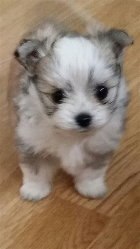 maltese chihuahua puppies maltese puppies for sale breeds picture