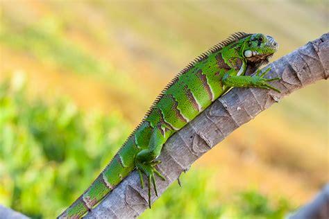 imágenes de iguanas verdes iguana verde