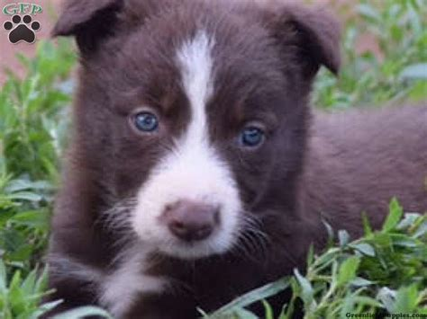 border collie puppies for sale in pa best 25 collie puppies for sale ideas on border collies for sale collies