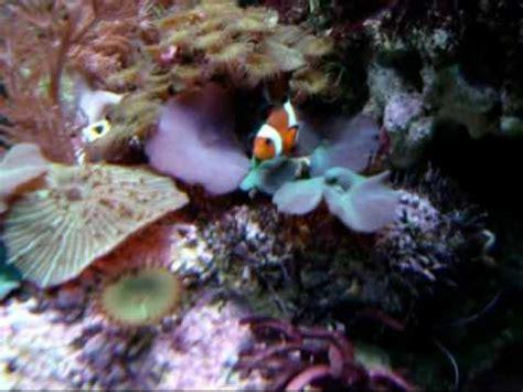 squalo volante radiocomandato ad elio anemone con pesci pagliaccio doovi