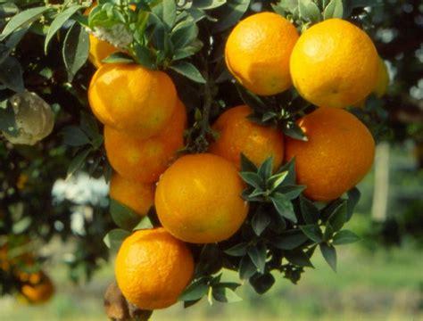 come si coltiva il limone in vaso come si coltiva il chinotto in vaso ecco alcuni consigli
