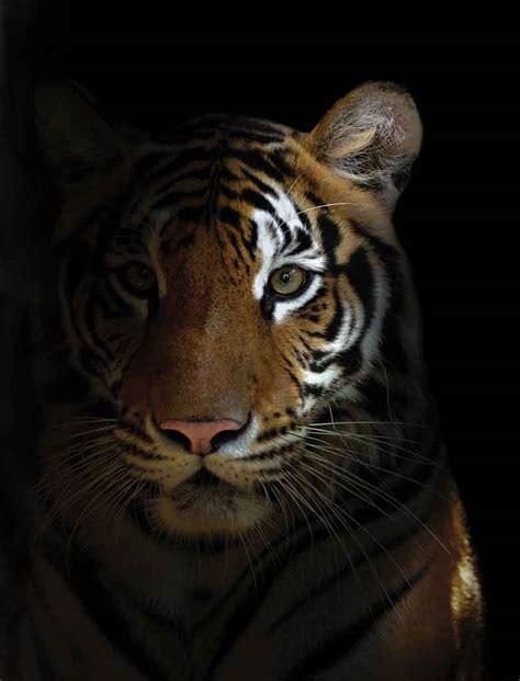 imagenes de tigres de bengala bengal tiger