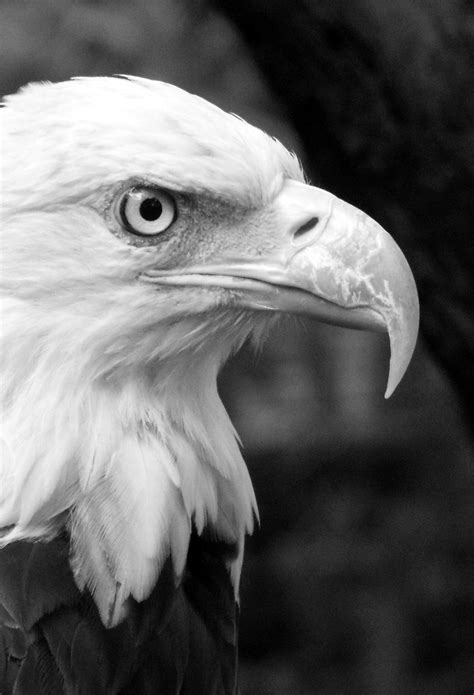 wallpaper iphone 6 eagle black white eagle wallpaper for iphone x 8 7 6 free