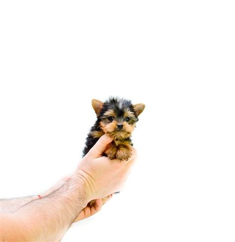 teacup yorkies for sale in indiana the 25 best yorkie puppies for sale ideas on yorkie dogs for sale pom