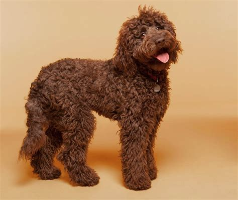 brown labradoodle puppy labradoodle breed 187 everything about labradoodles