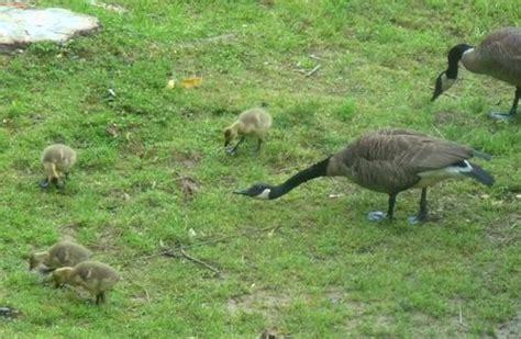 Backyard Geese by Backyard Nature Waterfowl