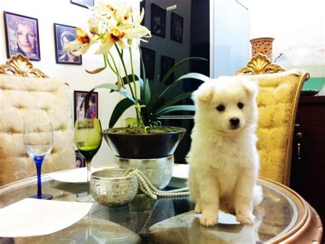 can pomeranians live outside breed russian pomeranian puppy clickbd