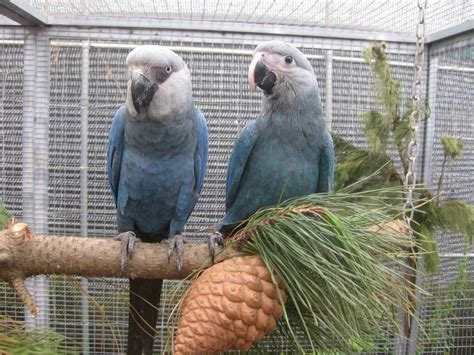 lets draw endangered species spixs macaw