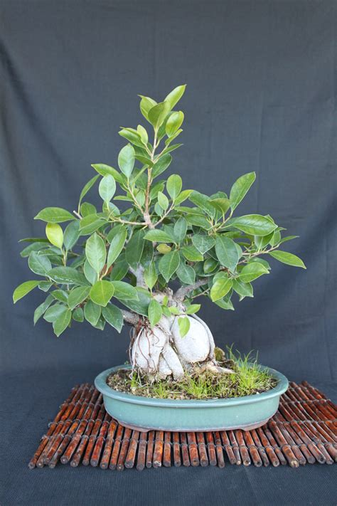 how do i crate my how do i make my bonsai trunk thicker kuromatsubonsai