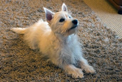 westie puppy for sale pedigree westie puppy for sale 4 months caersws powys pets4homes
