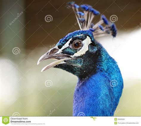 wwwwild bird photocom3gp peacock of bird stock photo image 25900500