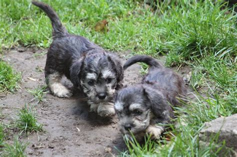 dandie dinmont terrier puppies dandie dinmont terrier pups sheffield south pets4homes