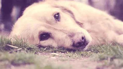 golden retriever diarrhea treatment symptoms of roundworm in dogs and cats petcarerx