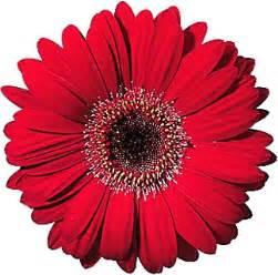 Red Gerbera Daisy Red Gerbera Daisy Free Virtual Flowers