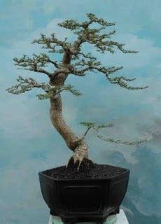 Jual Bakalan Bonsai Kawista jual bonsai kawista kawis bonsai gallery bonsai kawis