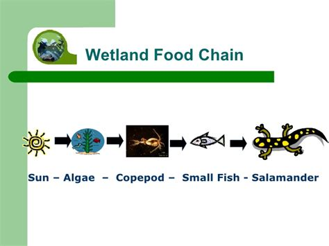 Axolotl Food Chain Picture And Images