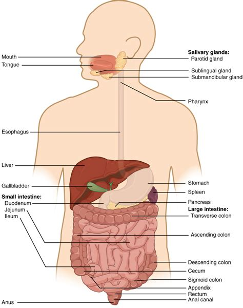 labeled digestive system diagram digestive system biology for majors ii