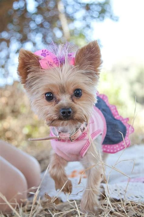 my yorkie keeps shaking my baby yorkie at our engagement pictures adorable things