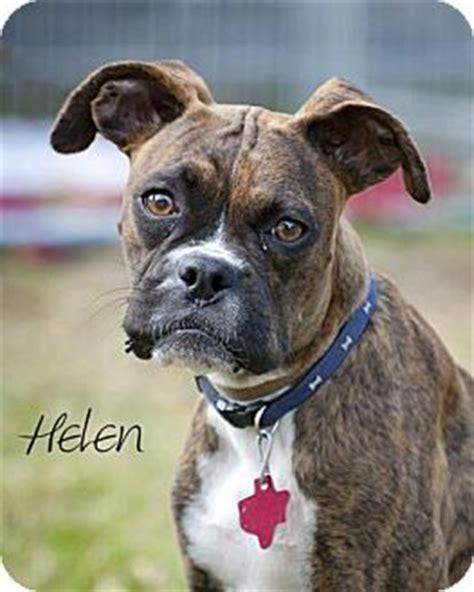 boxer boston terrier mix puppies henry helen adopted houston tx boxer boston terrier mix