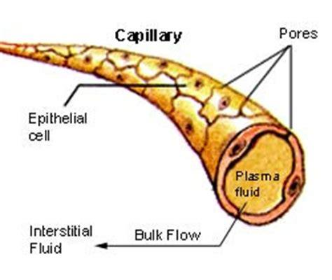 diagram of a capillary rozaini othman guru cemerlang biologi january 2010