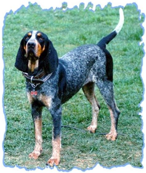 blue tick 25 best ideas about bluetick coonhound on hound hound puppies
