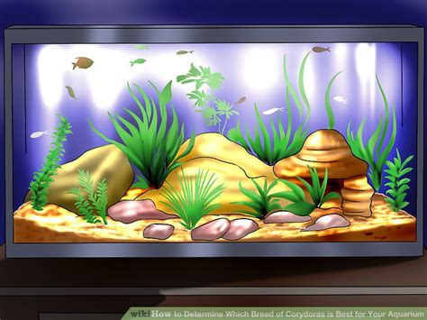 how to determine breed how to determine which breed of corydoras is best for your aquarium