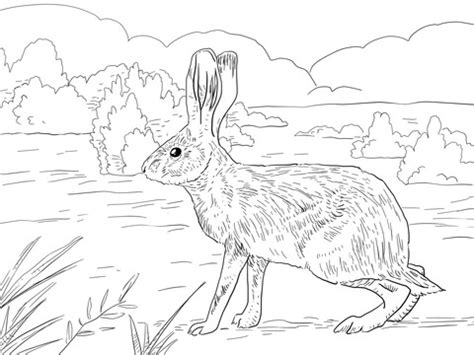 california jack rabbit coloring page  printable coloring pages