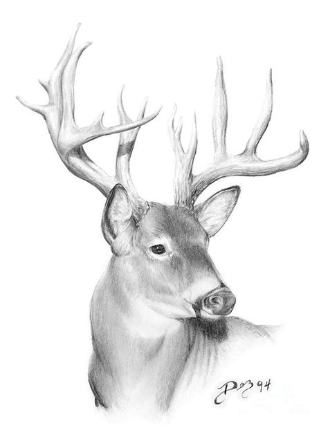 The gallery for --> Whitetail Buck Drawings Whitetail Buck Drawings