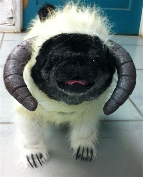 pug wars 18 best images about dogs in costume on dress up and 50