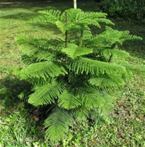 Tanaman Hias Cemara Embun jual pohon cemara bonsai murah tukang taman