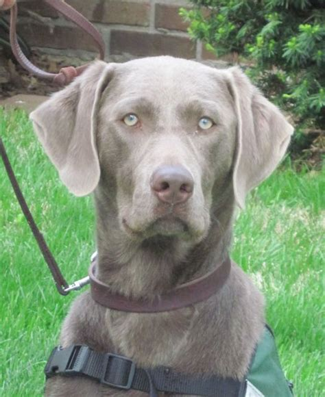 silver lab the gallery for gt black lab puppies with blue