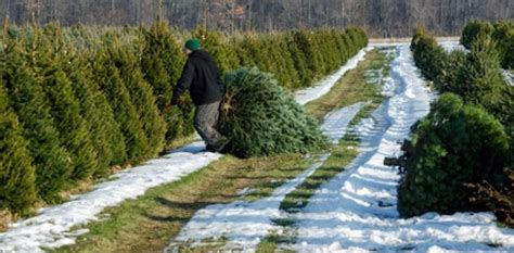 cut down your own christmas tree edmonton cutting your own tree in the pittsburgh area popular pittsburgh