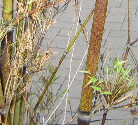Bambus Krankheiten by Schwarzer Bambus Geht Ein Hat Er Gebl 252 Ht Mein Sch 246 Ner