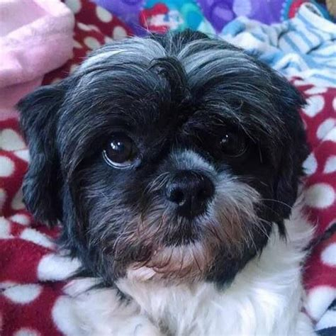 shih tzu rescue ny best 25 shih tzu rescue ideas on shih tzu shih tzu puppy and maltese