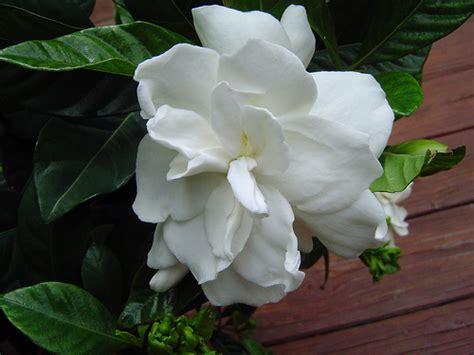 gardenias flower gardenia flower pictures white gardenia flowers